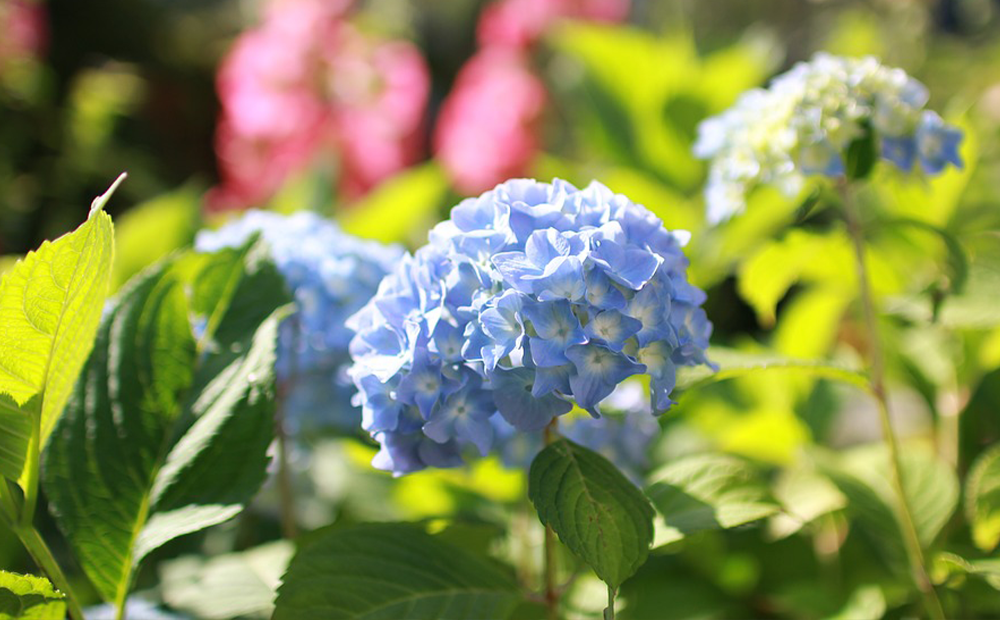 blue-hydrangea-prune-indianapolis.png