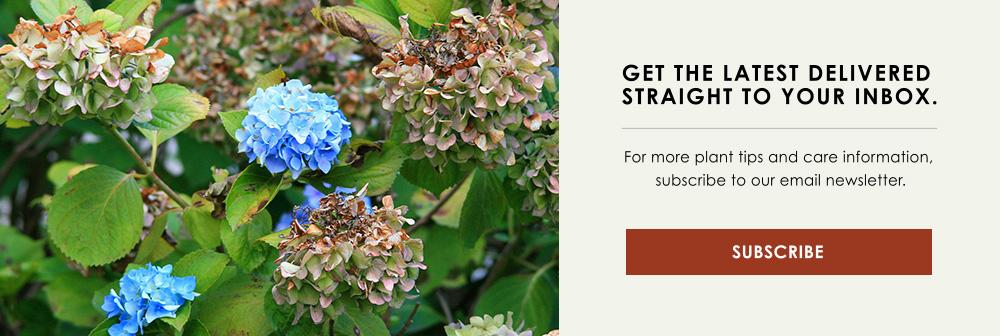InBlog-CTA-pruning-hydrangeas.jpg