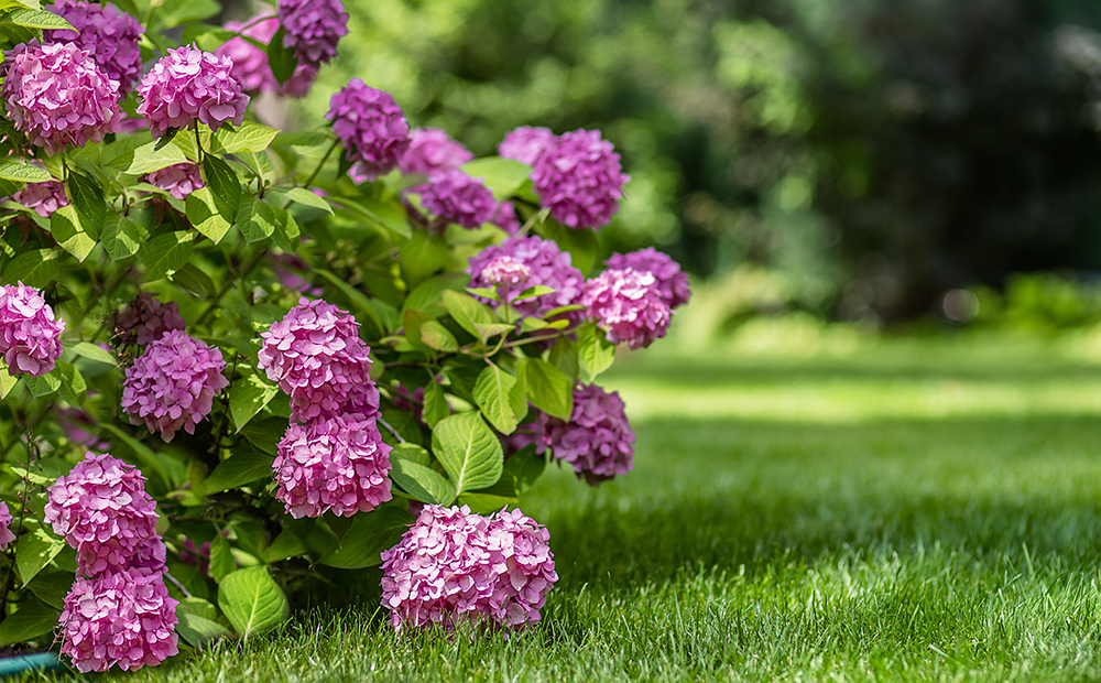 hydrangea-troubles-solutions-indianapolis.png