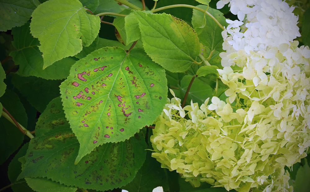 hydrangea-troubles-disease-indianapolis.png