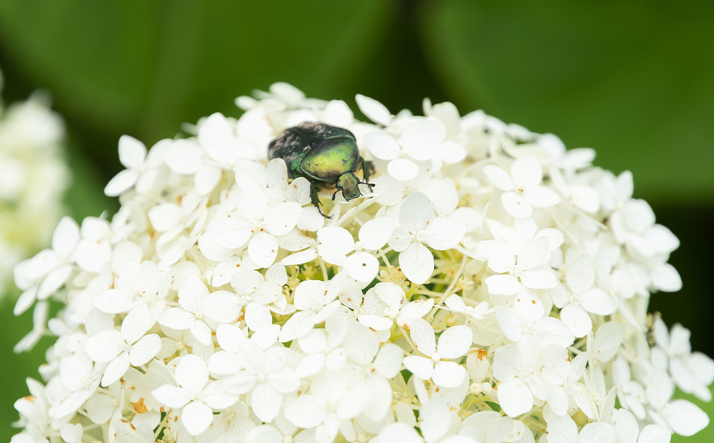 hydrangea-troubles-pest-indianapolis.png