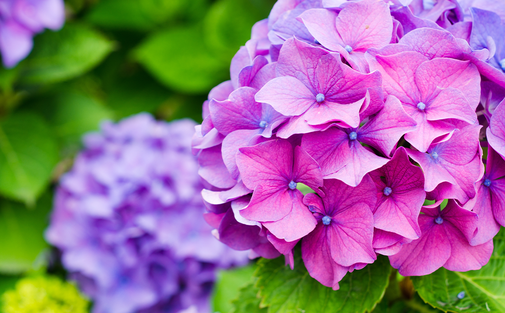 flowering-trees-shrubs-hydrangea-indianapolis.png