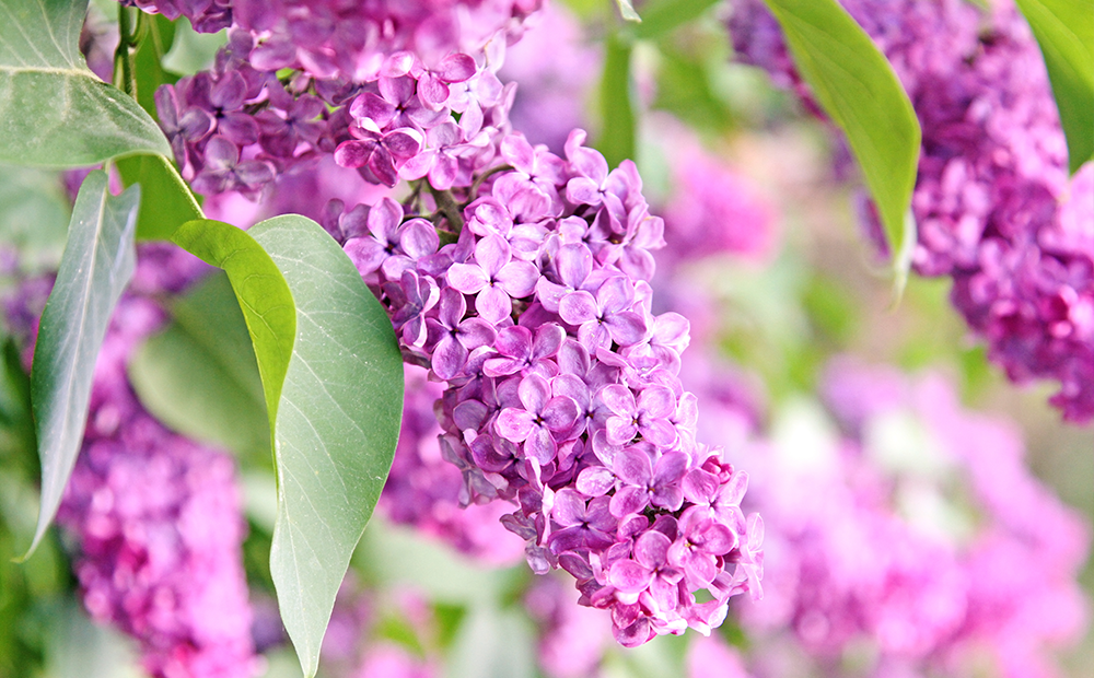 flowering-trees-shrubs-lilac-indianapolis.png