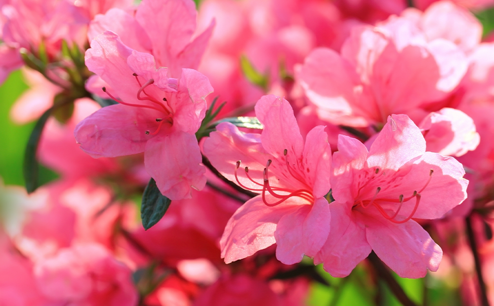flowering-trees-shrubs-rhododendron-closeup-indianapolis.png