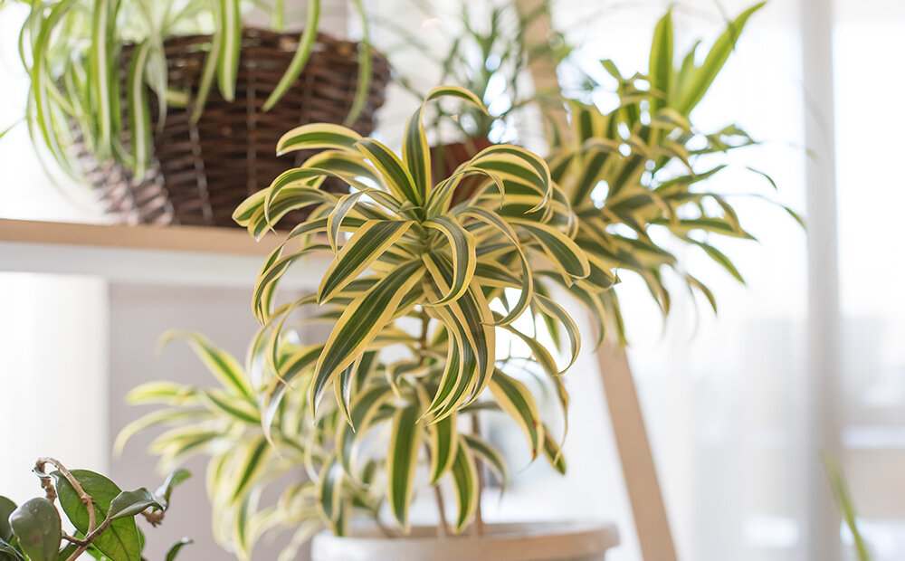 spider-plant-air-cleaning-plants-indianapolis.jpg