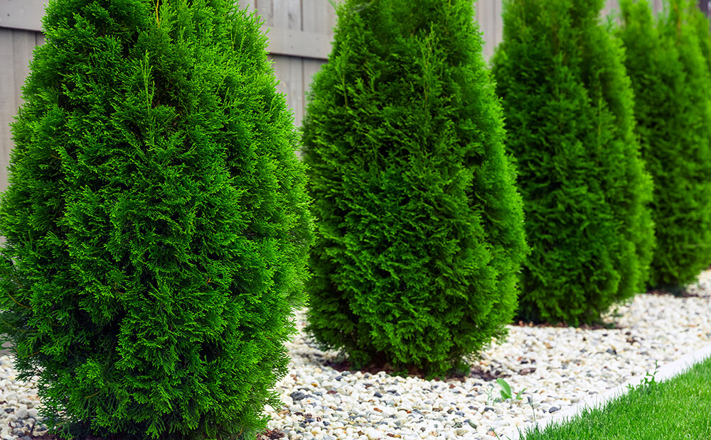 benefits-evergreens-thuja-hedge-privacy-indianapolis.jpg