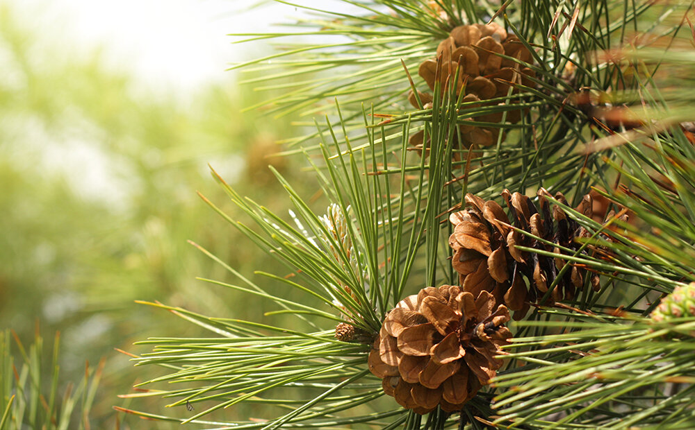 benefits-evergreens-pinecones-indianapolis.jpg