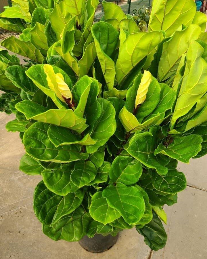 Known for its large, glossy fiddle-shaped leaves, the fiddle leaf fig is one of our most popular houseplants! ?? Now available in-store.