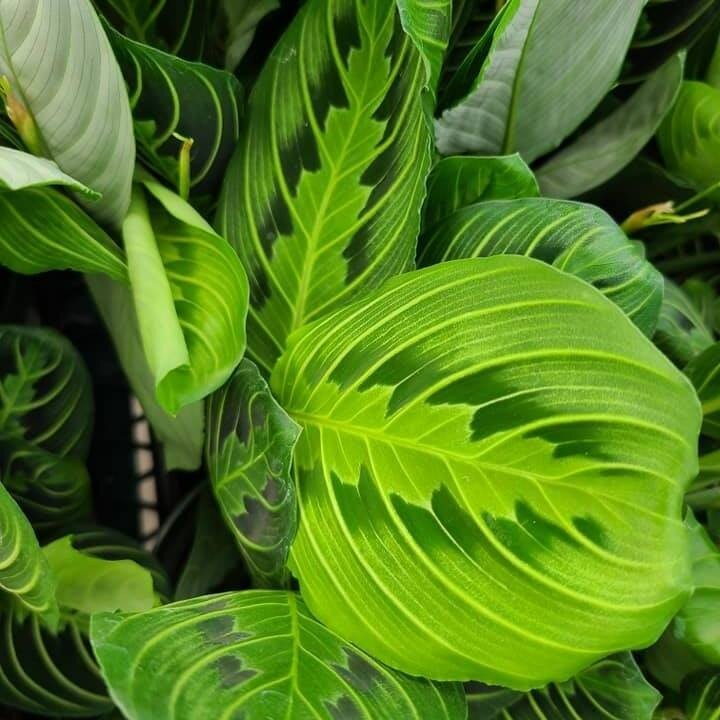 So many recent houseplant shipments—lots of beautiful choices for your indoor garden! Come check them out ??