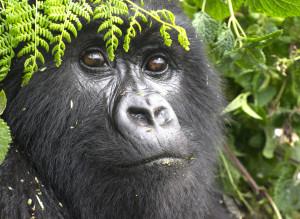 5% of sales support Gorilla Doctors