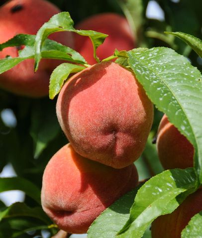 "Time your visit around your favorite seasonal fruit, available all summer at ""you pick"" orchards"