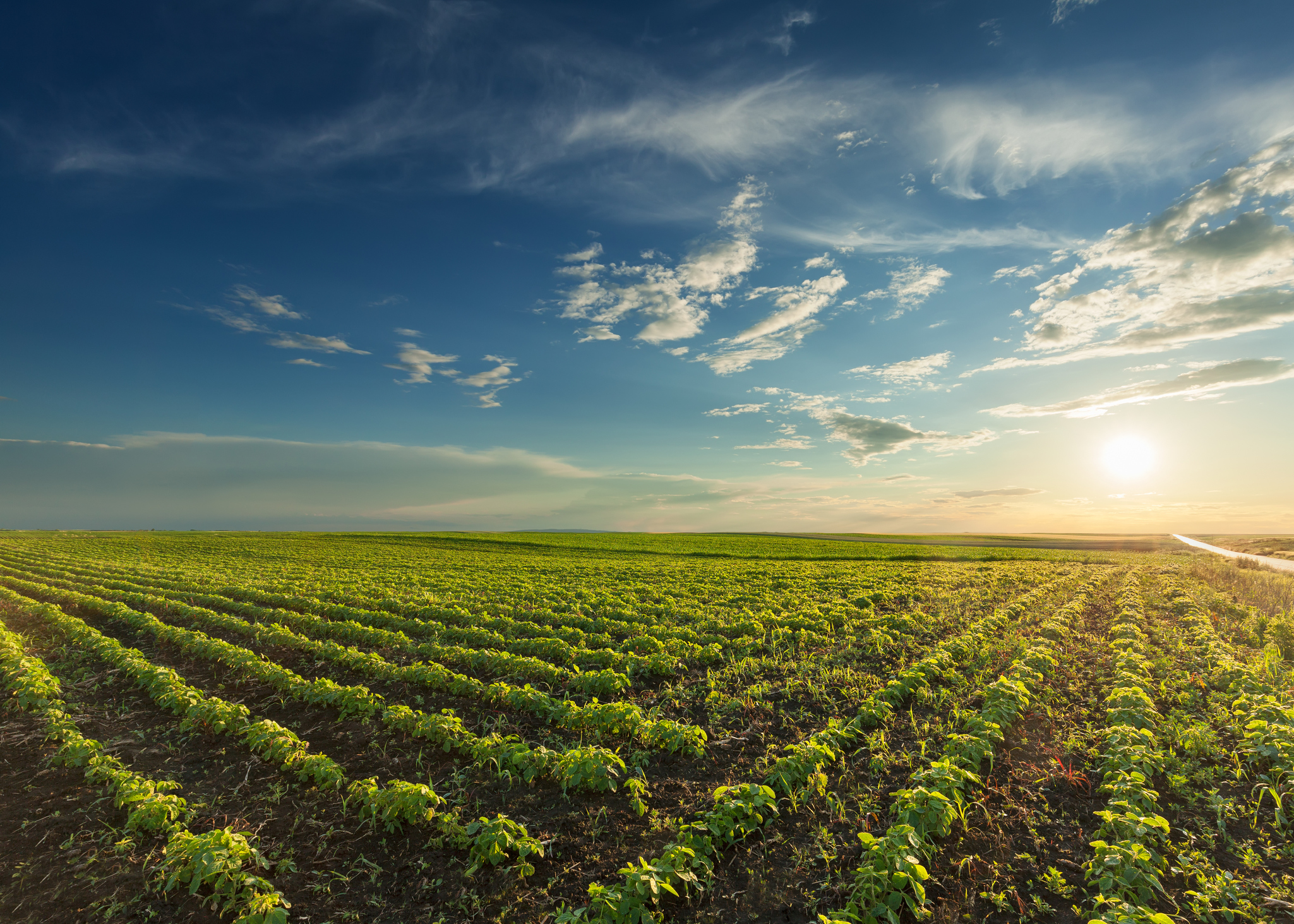 field of soybean row crops with wide open blue sky