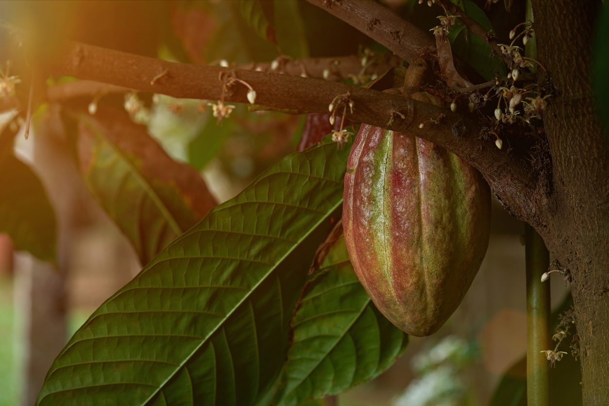 cacao pod growing in tree