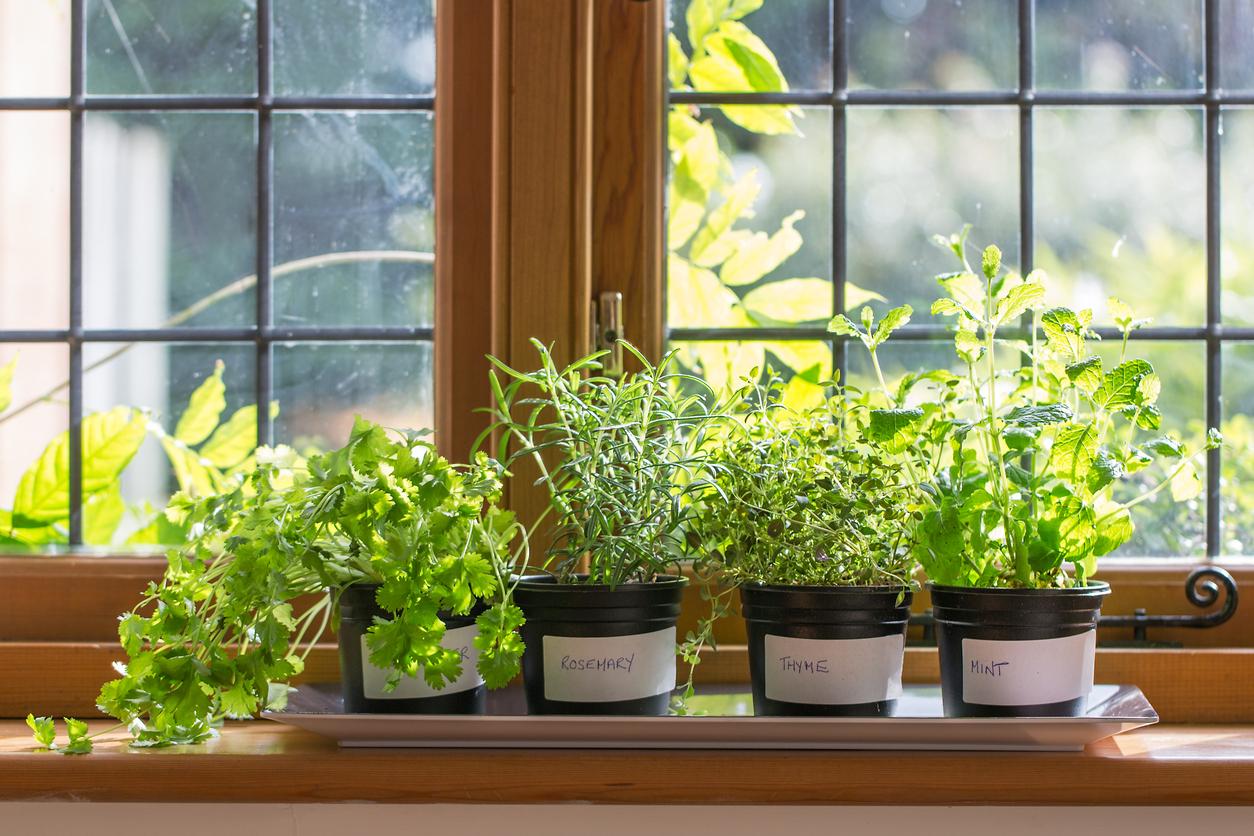 home grown herbs in window