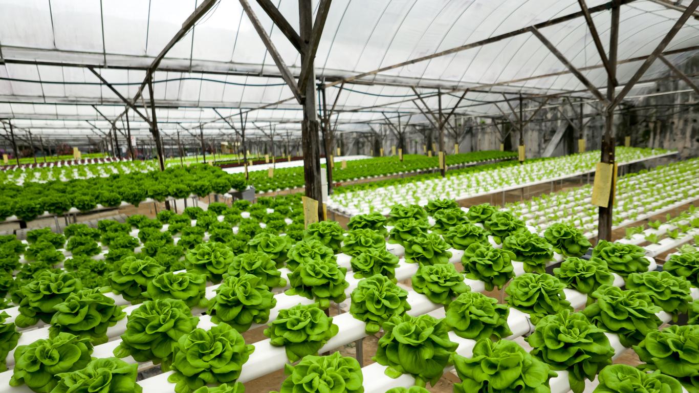 hydroponic lettuce growing in greenhouse