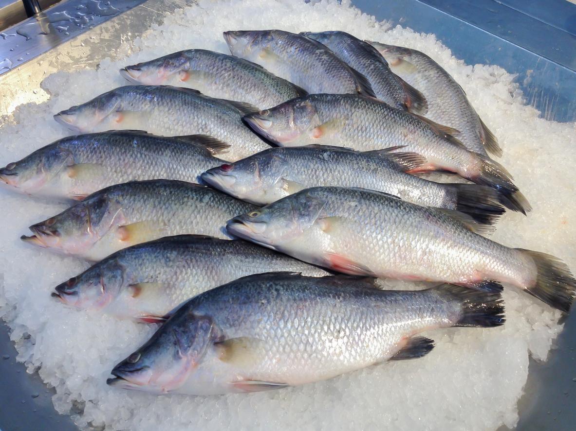 Barramundi Fish. in ice bucket