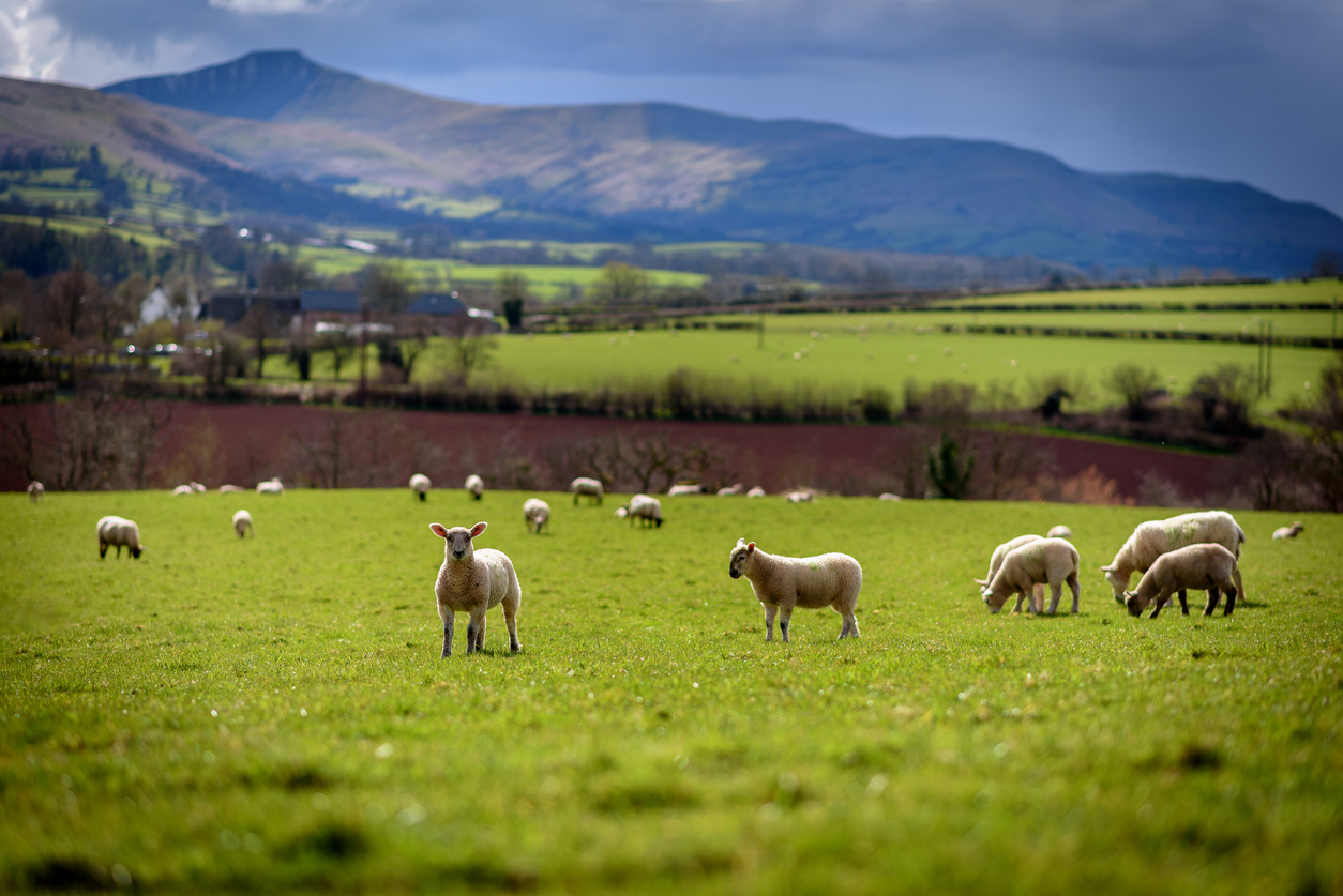 sheep in field with mountains in background