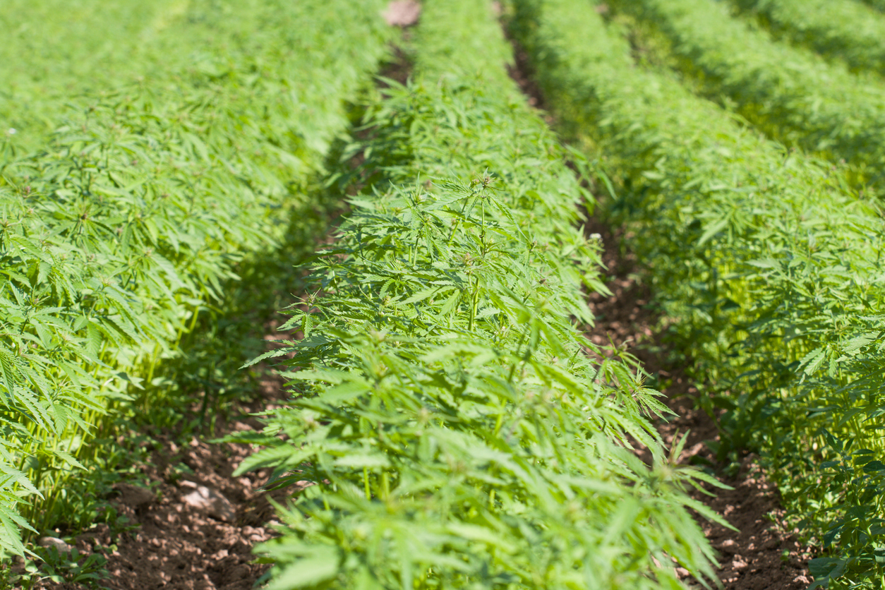 growing cannabis as a row crop