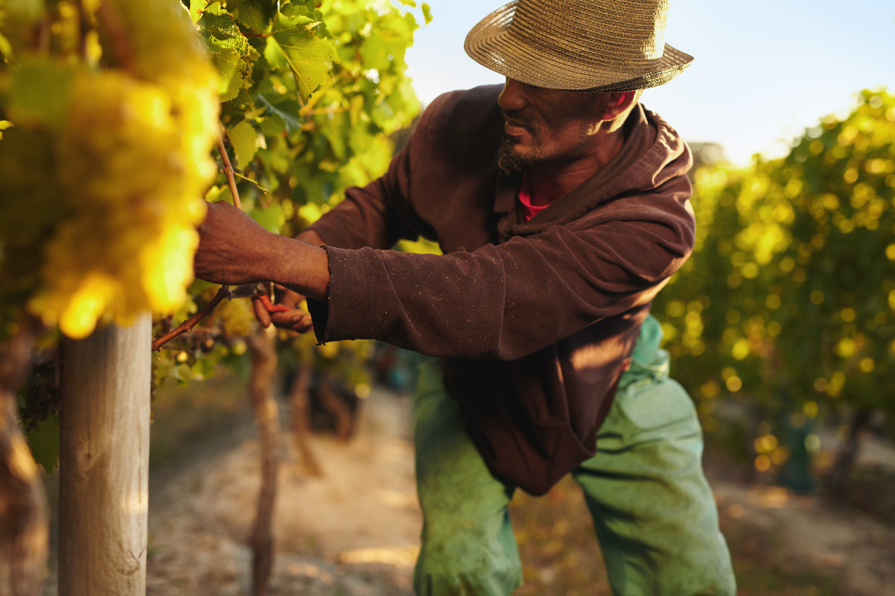 farmer cutting grapes in a grape orchard