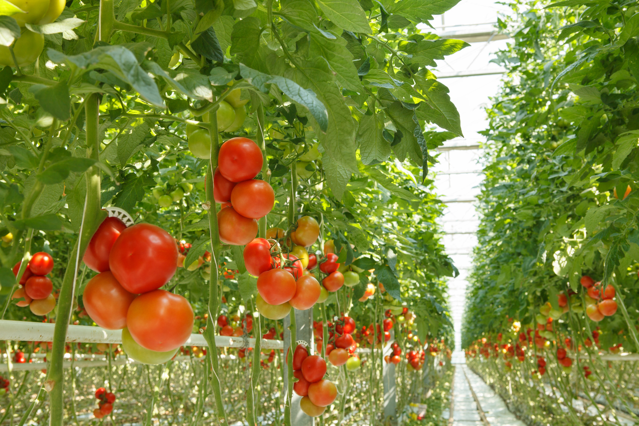 hydroponic tomatoes growing in greenhouse without soil