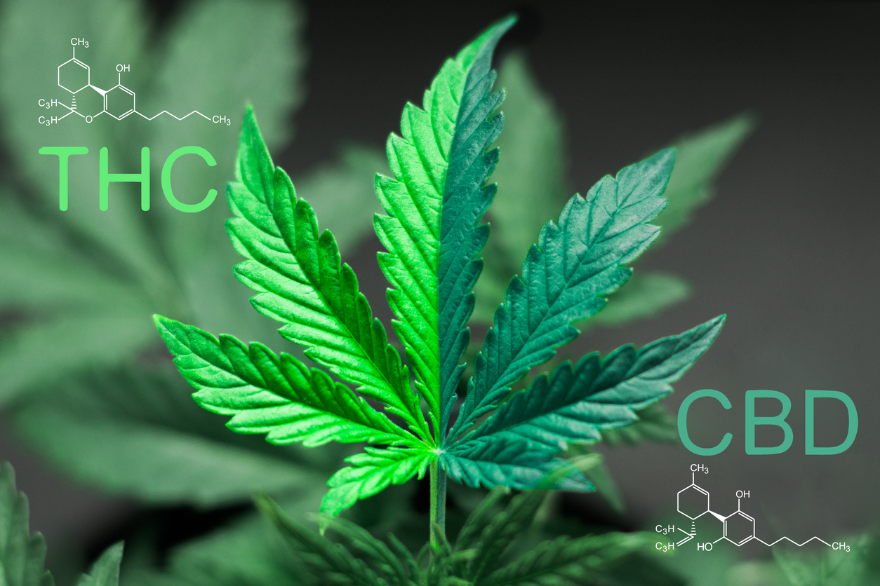 thc and cbd molecular models with cannabis plant