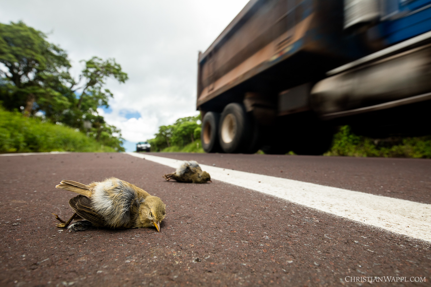 According to estimates by the Galápagos National Park, daily 50 to 60 birds are killed on the highway that bisects the island of Santa Cruz. It is not uncommon to see multiple birds or even whole families lying dead on the road.