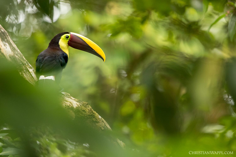 Yellow-throated toucan ( Ramphastos ambiguus ), Costa Rica