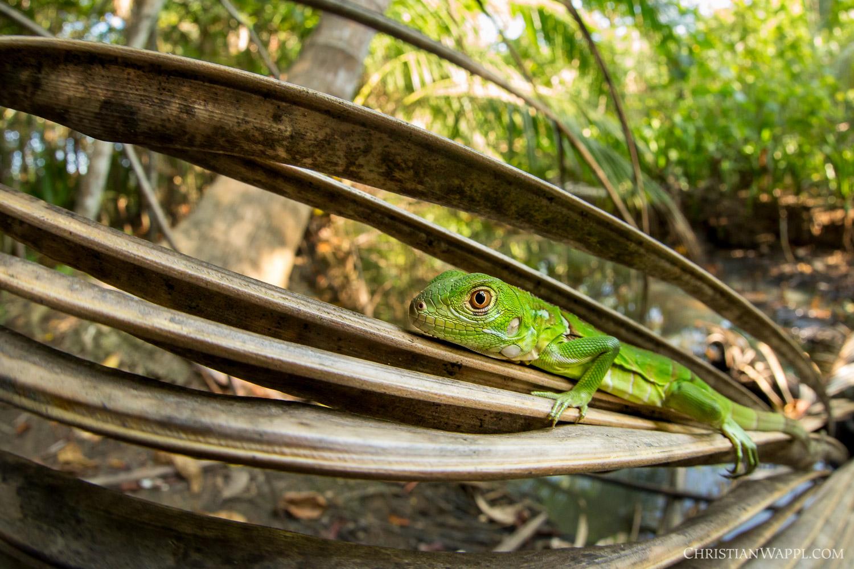 Green iguana ( Iguana iguana ), Costa Rica
