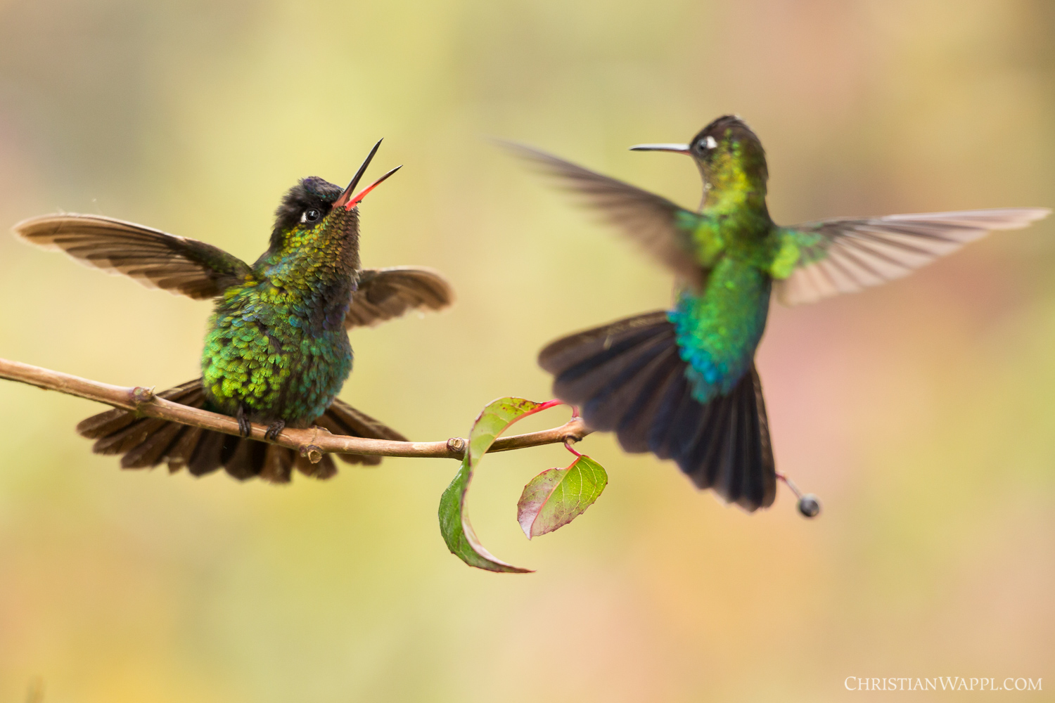 Fiery-throated hummingbirds ( Panterpe insignis ) fighting over a vantage point, Costa Rica