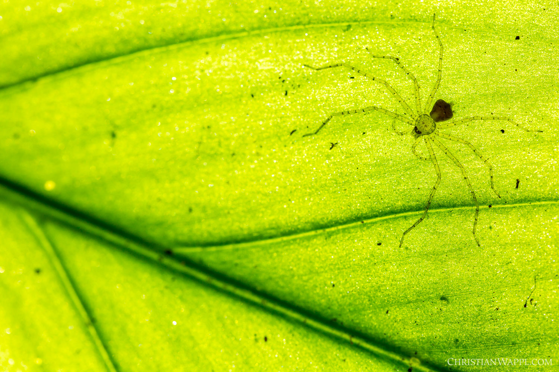 Huntsman spider ( Sparianthina sp. ), Costa Rica