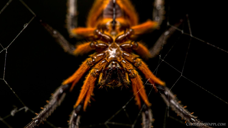 Tropical orb-weaver spider ( Eriophora fuliginea ), Costa Rica