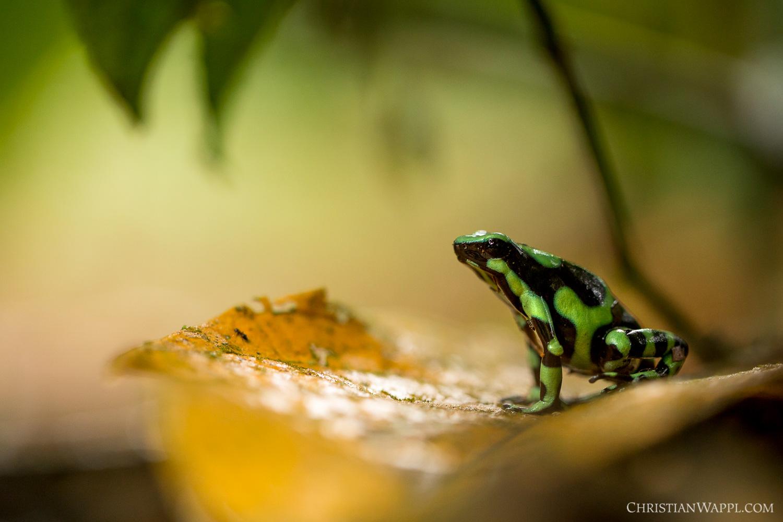 Green-and-black poison dart frog ( Dendrobates auratus ), Costa Rica