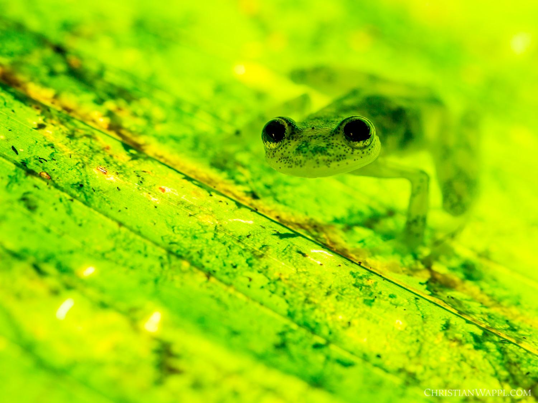 Reticulated glass frog ( Hyalinobatrachium valerioi ), Costa Rica