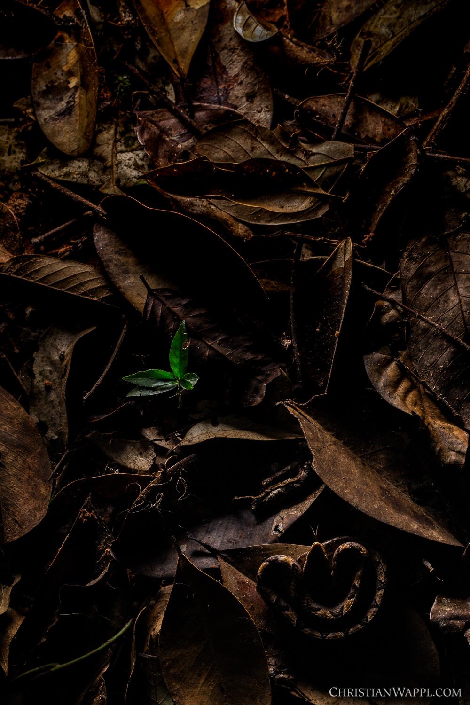 Malayan pit viper ( Calloselasma rhodostoma ), Thailand