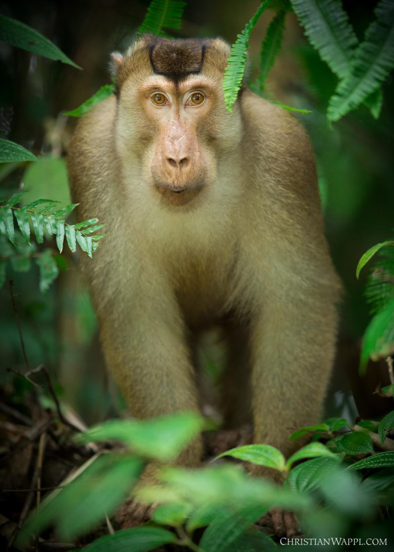 Southern pig-tailed macaque ( Macaca nemestrina ), Malaysia
