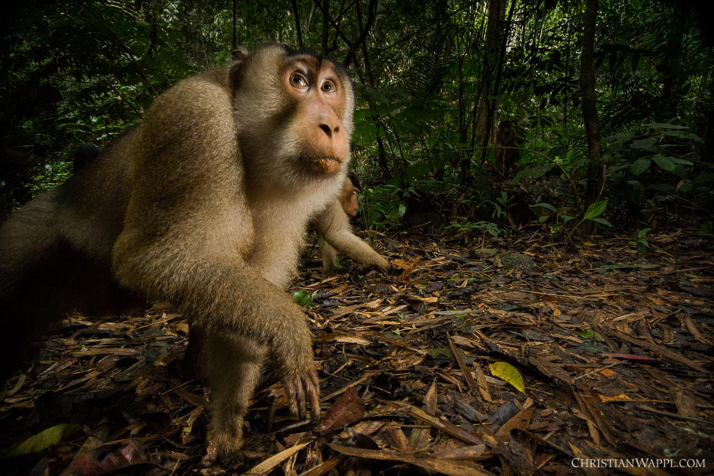 Southern pig-tailed macaques ( Macaca nemestrina ), Malaysia