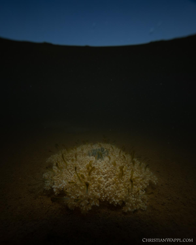 Upside-down jellyfish ( Cassiopea  sp.), Curaçao