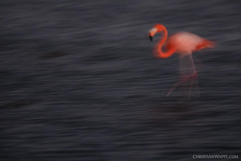 American flamingo ( Phoenicopterus ruber ), Curaçao
