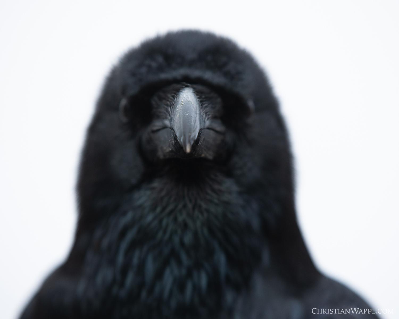 Portrait of a common raven