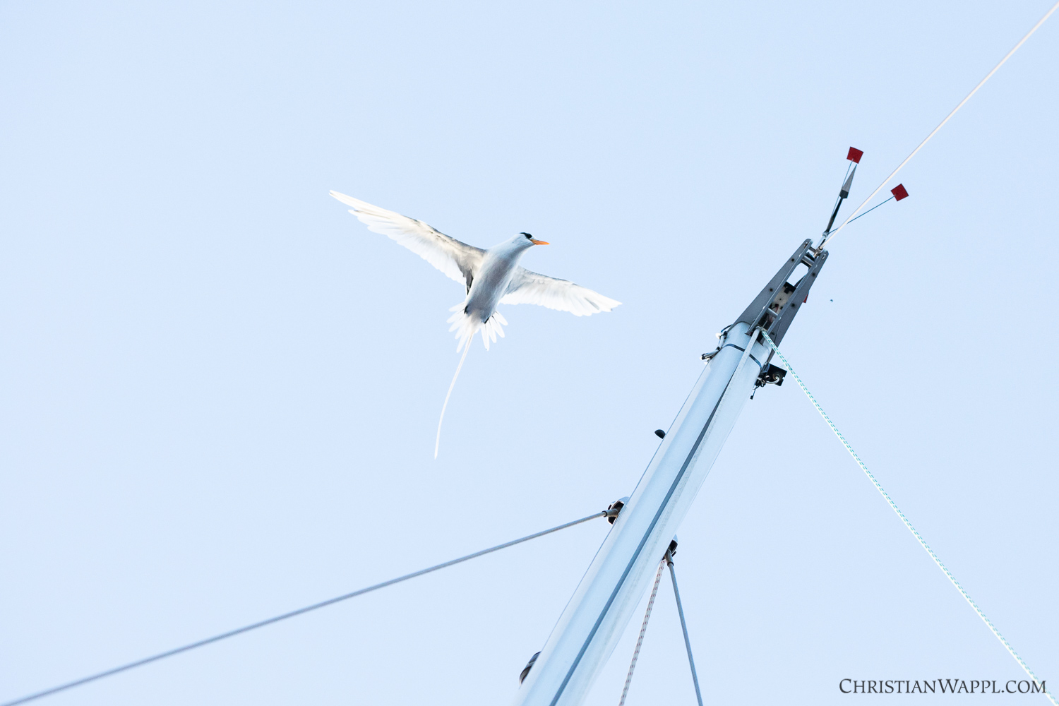 Tropicbird trying to land on the mast