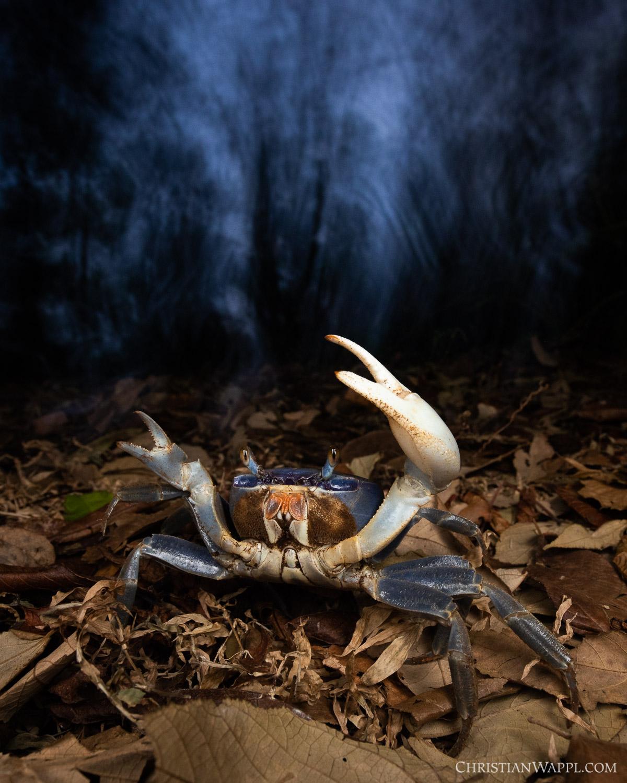 Blue land crab ( Cardisoma guanhumi ), Panama