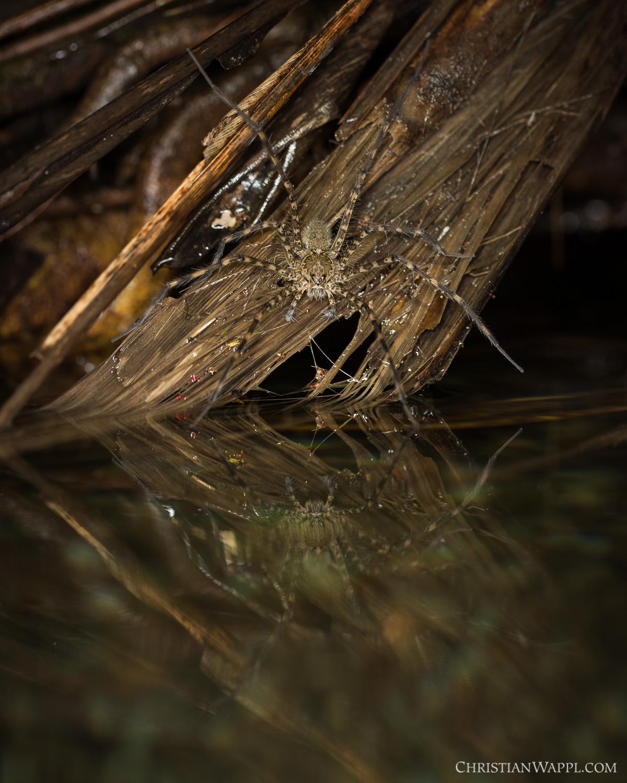 Fishing spider ( Trechalea  sp.), Costa Rica