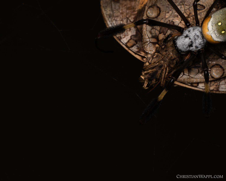 Golden orb weaver ( Nephila clavipes ) feeding on a butterfly (Lepidoptera), Panama