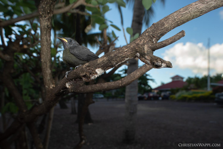 Bananquit fledgling