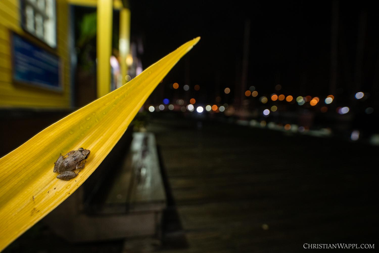Lesser Antillean whistling frog