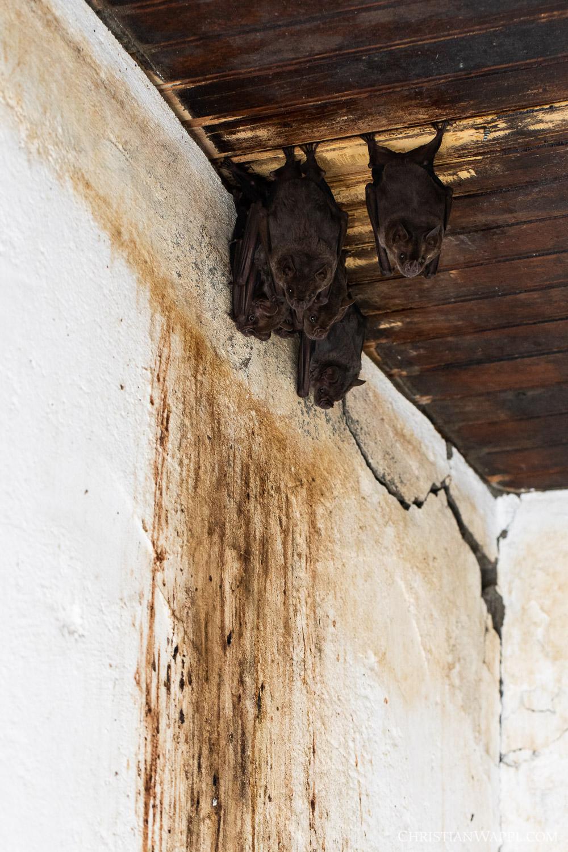 Jamaican fruit bats