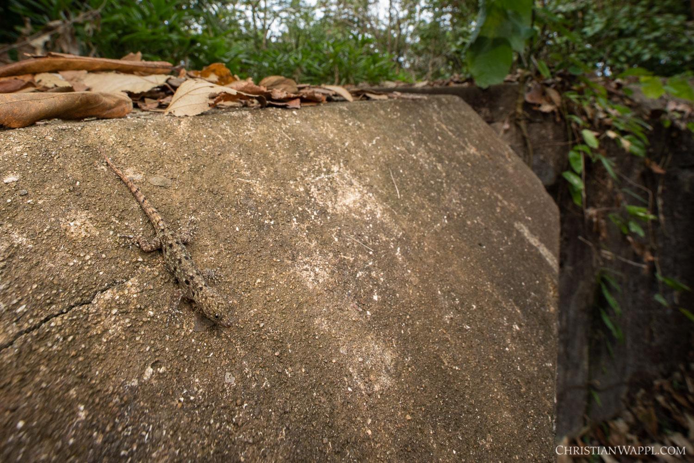 Female yellow-headed gecko ( Gonatodes albogularis ) on a naval gun battery, Panama