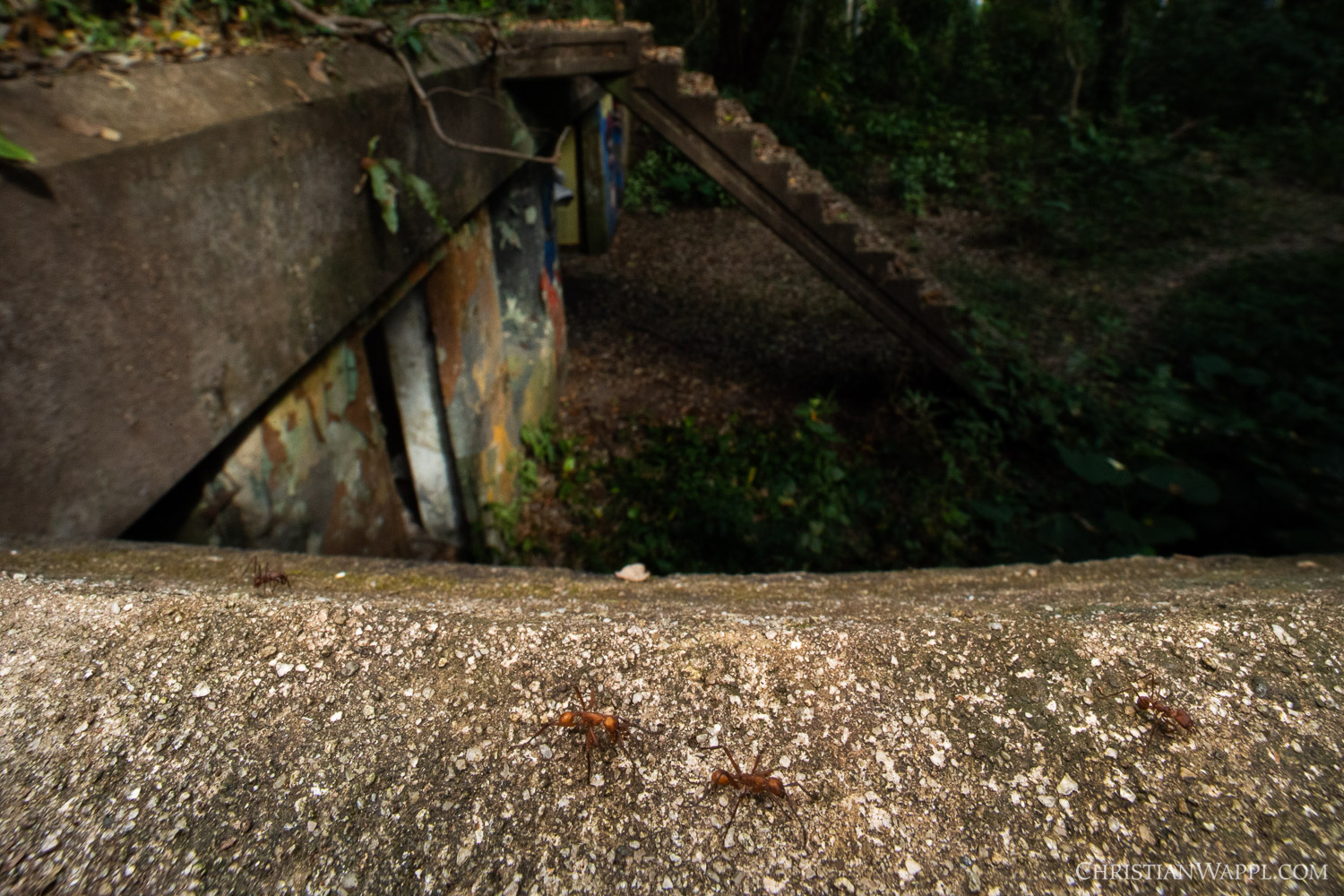 Army ants ( Eciton  sp., center) and leafcutter ants ( Atta  sp., left and right) on a naval gun battery, Panama