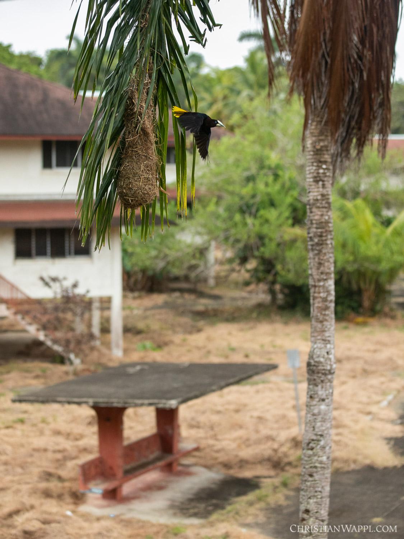 Oropendola ( Psarocolius  sp.) and its nest between army barracks, Panama