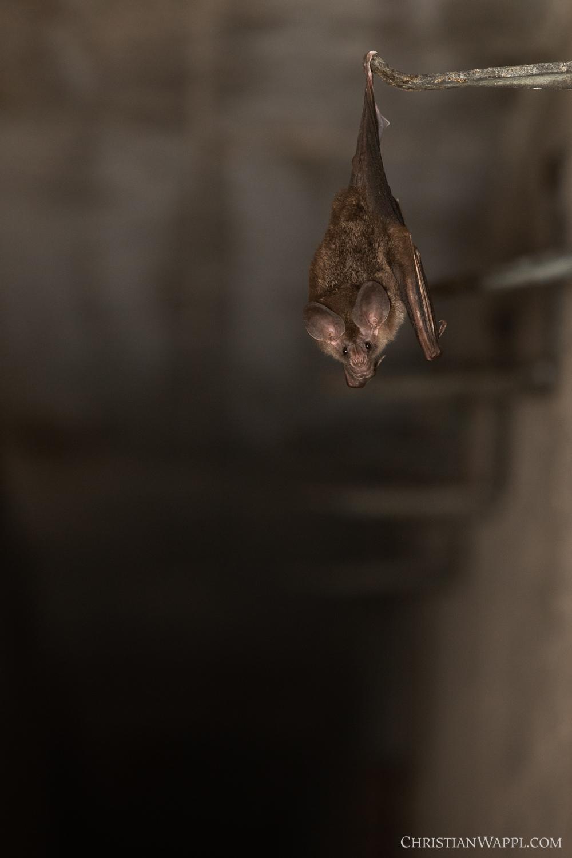 A bat (most likely a woolly false vampire bat ( Chrotopterus auritus )) roosting in a naval gun battery, Panama